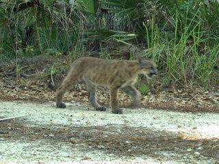 Panther kittens seen north of Caloosahatchee