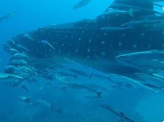 Divers spot whale shark off West Palm Beach