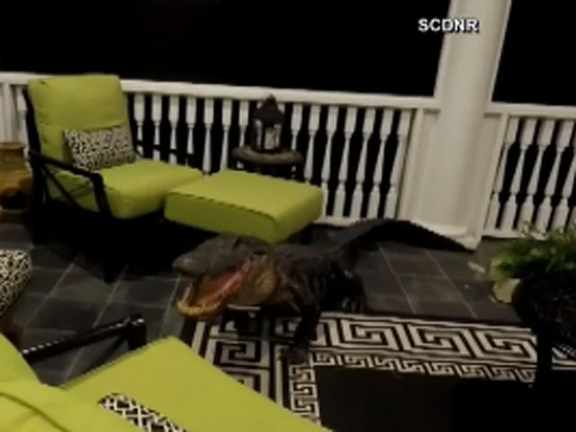 9-Foot Alligator Shows Up On Family's Porch Easter Morning