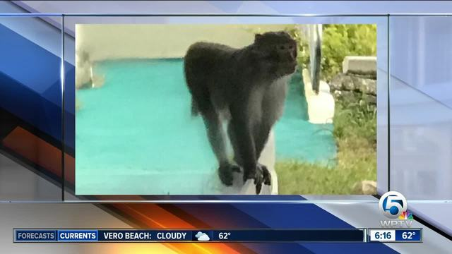 Florida Fish and Wildlife searches for monkey on the loose