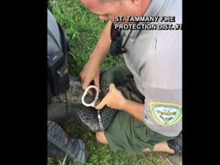 Wildlife officials handcuff wayward alligator