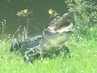 Fisherman gets competition from hungry alligator