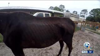 Malnourished horses and donkey rescued