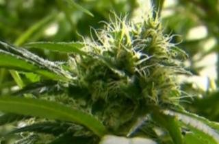 Medical marijuana now in hands of Florida DOH