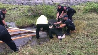 WATCH: Crews remove cow stuck in drainage hole