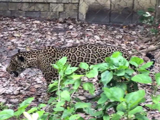 Palm Beach Zoo welcomes Fiona the jaguar