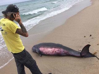 Rare whale washes ashore in Palm Beach