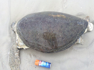 Turtle found dead on Fla. beach, shell removed