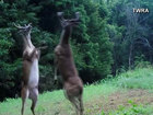 VIDEO: Bucks stand on hind legs, fight it out