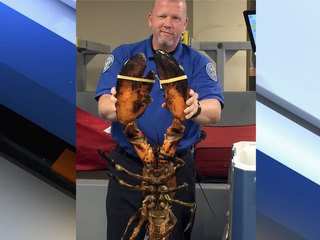 20-pound live lobster found in luggage