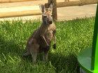 Hand-raised kangaroo rejoins with mob at zoo
