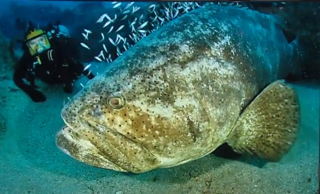 FWC needs your input on the goliath grouper