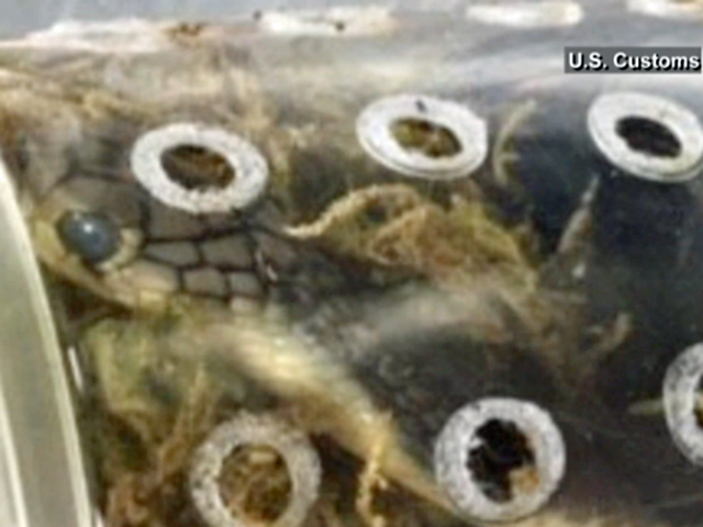 Customs officers seize package filled with live snakes, lizards