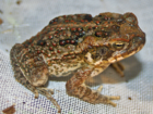 Invasive cane toads a deadly threat to pets