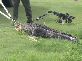 Alligator attack survivor recovering
