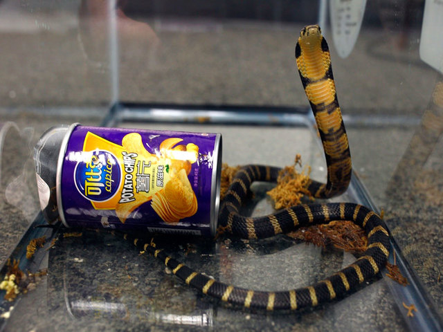 Southern California man arrested for smuggling cobras in potato chip cans
