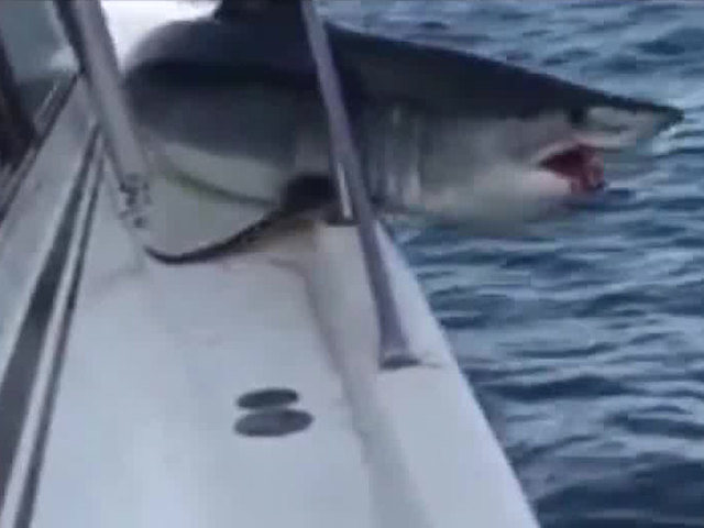 Shark jumps on boat after being hooked by fisherman