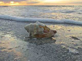 Conchs mostly gone from Florida