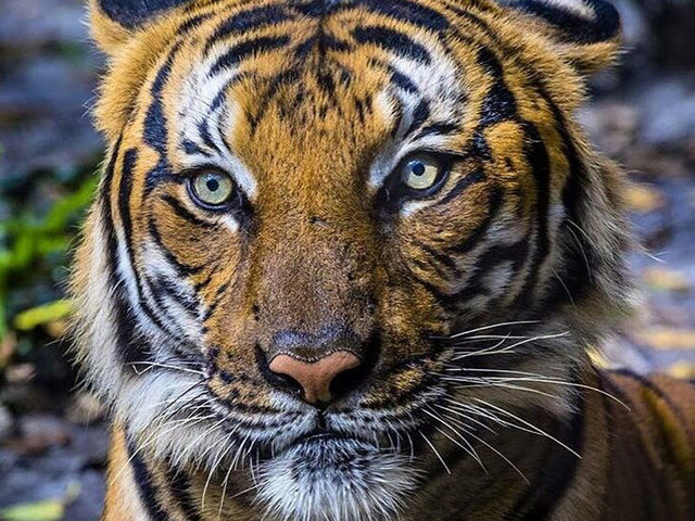 Tiger That Killed Florida Zookeeper Dies in Surgery a Year Later