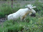 Rare white moose photographed in Sweden
