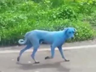 Stray dogs in Mumbai, India are turning blue