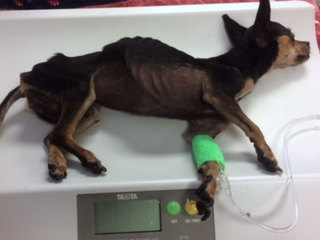 Abused dog recovering, looking for forever home
