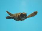 Aquarium saves baby turtles from Irma