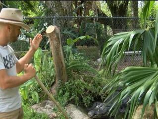 Study shows gators eat sharks