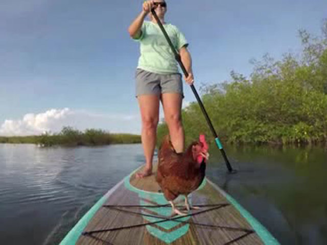 Chicken Of The Sea? Meet a pet chicken who likes to paddleboard