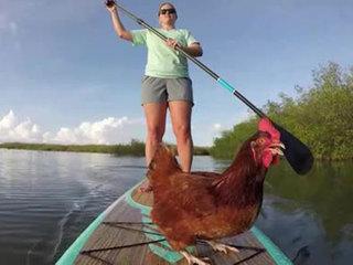 Florida Keys chicken loves to paddleboard