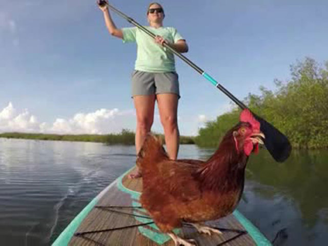 Pet chicken likes to paddle board in Florida Keys