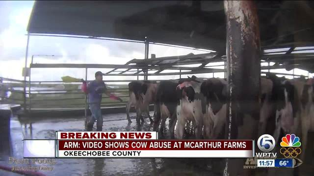 Animal groups releases video claiming cows abused at McArthur Dairy in…