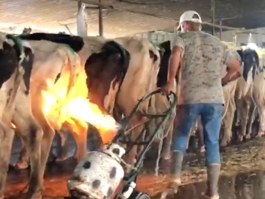 Gas Prices In Florida >> WARNING: Disturbing video shows blowtorches used on cows at Florida dairy farm - abcactionnews ...