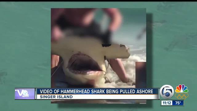 caught on tape hammerhead shark dragged to shore abc15 arizona