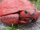 Gopher tortoise found painted red in Central FL