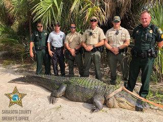 13-foot alligator captured in Florida