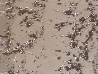 Dead fish wash ashore in North Palm, Juno Beach