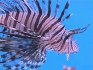 Deadly lionfish invade South Florida waters