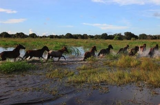 Wild mustangs rounded up in central Florida