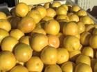 Struggling citrus growers face tough decisions