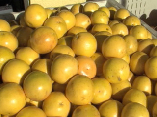 Struggling citrus growers face tough decisions