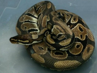 Woman stopped for python show, faces deportation