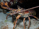 Divers taking advantage of lobster mini-season
