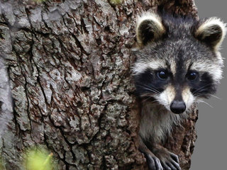 Raccoon tests positive for rabies in Delray