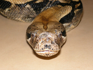 Boa constrictor falls from ceiling, lands on man