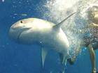 Up close look at the ocean's ultimate predator