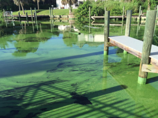 Blue-green algae confirmed in the C-25 canal