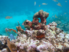 Mysterious epidemic plagues S. Florida's reefs