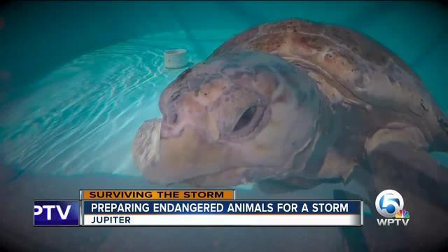 How Loggerhead Marinelife Center prepares for a storm