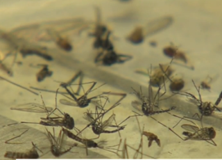 Study questions chemical used to kill mosquitoes